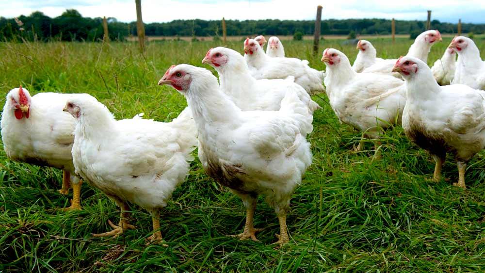 Herb Fed Chicken